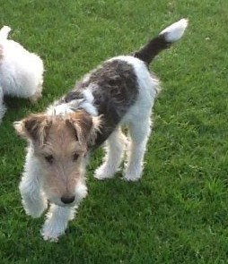 Wire Haired Fox Terriers Yorma Kennels Jansenville